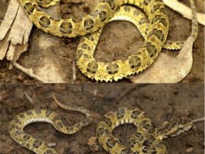 Descubren nueva especie de serpiente en el Parque Nacional Bahuaja Sonene