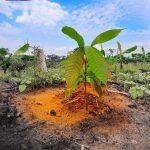 San Martín: En 2018 se instalaron 591 hectáreas de cacao en distritos de Pólvora y Campanilla