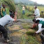 San Martín: Prueban arroz ecológico en Rioja