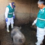 Senasa vacunará más de 23 mil cerdos en el primer semestre del año en Junín