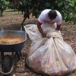 Determinan incidencia y severidad del mazorquero en el cultivo del cacao