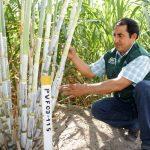 Mejoran producción de panela orgánica en valles interandinos de Piura, Lambayeque y Cajamarca