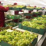 Minagri: Exportaciones de uva siguen en alza