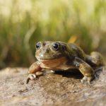 Redescubren rana acuática en Ayacucho