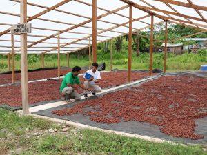 Supervisan condiciones laborales de cooperativa CACPI y de comités de apoyo para cosecha de cacao