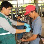 Evalúan condición sanitaria de aves en Ucayali para descarte de influenza aviar