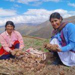 Minagri mejoró capacidades productivas de más de 1 400 productores de papa