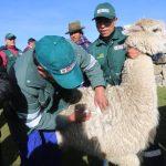 Huancavelica: Minagri distribuye Kits veterinarios para proteger a 700 cabezas de alpaca