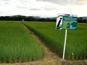 INIA intensifica desarrollo de variedad de arroz resistente a enfermedades