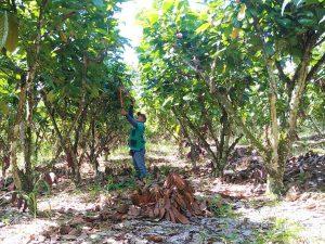 Impulsan el mejoramiento productivo del cacao en San Martín