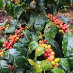 Incrementarán rendimiento de producción del café en cinco provincias de la región San Martín