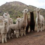 Minagri: Más de un millón de animales serán protegidos en temporada de heladas
