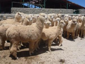 Minagri instalará cobertizo en Puno para ganado por bajas temperaturas