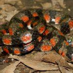Nuevo registro de especie de serpiente para Madre de Dios