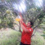 San Martín: Vigilancia fitosanitaria contra incidencia de plagas en cultivo de naranja