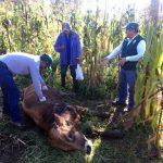 Senasa realizó inspección clínica de animales en la región Amazonas
