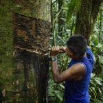 Amazonas: Comunidades awajún y wampis producen láminas para la industria del calzado