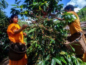 Comunidades del Vraem producen café en armonía con el bosque