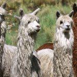 Minagri atenderá a más de 230 mil alpacas en el Cusco