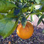 Realizan campaña para el control del hongo Fumagina en el cultivo de la naranja