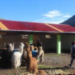 Apurímac: Construyen cobertizos para proteger ganado en temporada de heladas