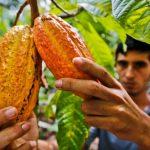 Arranca proyecto de cacao de más de US$1 millón 800 mil en cuatro regiones