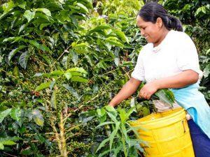 Capacitarán a pequeños productores de café en catación y barismo