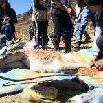 Junín: Realizan festival de chaccu ecoturístico de vicuñas