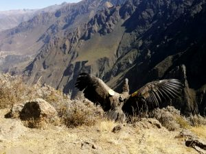 Liberan a primer cóndor andino en Arequipa