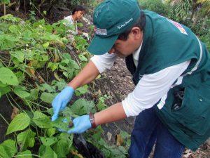 Realizan campaña de recolección de caracol gigante africano en Amazonas