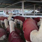 Expo Yauris muestra ganado de seis regiones del país