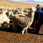 Aplican kits veterinarios en Moquegua, Puno, Arequipa y Tacna