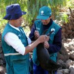 Ayacucho: 7 mil porcicultores beneficiados con vacunación contra peste porcina