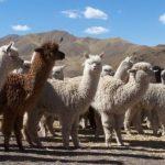 El Perú es la primera potencia mundial en producción de fibra de alpaca