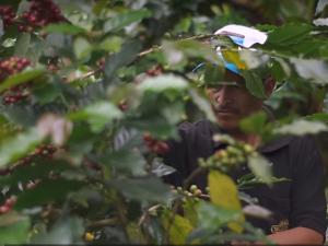 Huánuco: Optimizan producción de cooperativa cafetalera en el Monzón