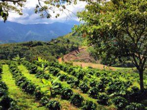 Impulsan consumo y agricultura sana y saludable del café en San Martín