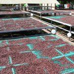 Instalan 10 módulos de post cosecha a organizaciones cacaoteras en San Martín