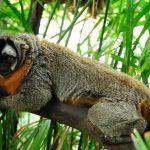 Presentan plan de conservación de primates amenazados en el Perú
