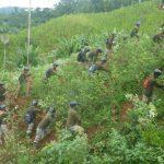 Proyecto Corah erradicó más de 15 mil hectáreas de hoja de coca en lo que va del año