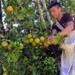 San Martín: Amplían procesos de investigación en cultivo de naranjas