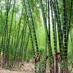 La Merced será sede del Primer Congreso Internacional de Bambú
