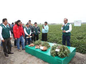 Ministra Muñoz presenta potencial variedad de camote INIA-309 que rinde 60 toneladas por hectárea