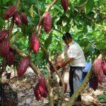Unifican criterios técnicos en planes de abonamiento en el cultivo de cacao