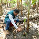 Vigilancia fitosanitaria en cultivos de banano de Amazonas