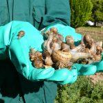 Controlan brote inusual de caracol defoliador en Ayacucho
