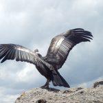 Cusco: Liberan a condor andino rehabilitado
