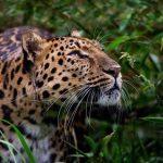 IFAW exhorta a desarrollar una acción conjunta para proteger al jaguar