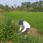 Evalúan presencia de plaga de roedores en cultivos de arroz y sandía en Ucayali