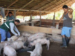 Minagri proyecta vacunar más 22 mil cerdos en Ucayali