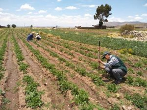 Moquegua: Instalarán 800 hectáreas de pastos para impulsar sector agropecuario